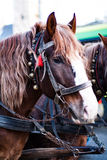 The horse in harness. A beautiful brown horse in harness in the street in a city close up. / The horse in harness Royalty Free Stock Photos