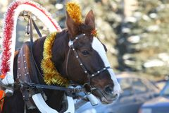 Horse in harness with Christmas decoration. The horse in harness with Christmas decoration Royalty Free Stock Images