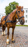 Horse in harness. On a city street Stock Image