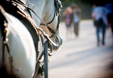 Horse in harness closeup Stock Images