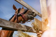 A horse in a harness is eating hay. royalty free stock photography