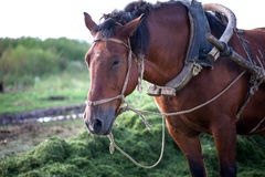 Horse in harness Royalty Free Stock Image