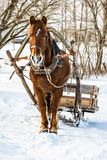 A horse in a harness with a homemade sleigh standing in the snow. Sunny winter day Stock Photo