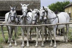 Horse Harness, Horse, Horse Like Mammal, Horse Tack Royalty Free Stock Photo