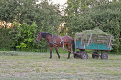 Horse in harness. Male horse is in harness to pull a hay wagon Stock Image