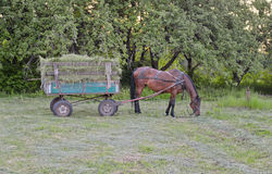 Horse in harness. Male horse is in harness to pull a hay wagon Stock Photography