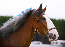 Horse in Harness Outside in a Field - Close Up Royalty Free Stock Image