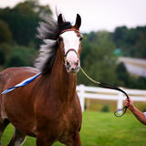 Horse in Harness Outside in a Field Stock Photos