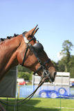 Horse in harness. Portrait of horse head in harness with blinkers Stock Photos