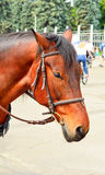 Horse in harness. Portrait of a horse. Brown horse. Royalty Free Stock Images