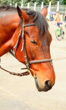 Horse in harness. Portrait of a horse. Brown horse. Royalty Free Stock Image