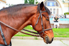 Horse in harness. Portrait of a horse. Brown horse. Stock Photo