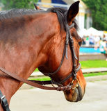 Horse in harness. Portrait of a horse. Brown horse. Stock Images