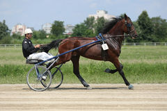 Horse during harness race Royalty Free Stock Image