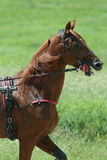 Horse during harness race Stock Image