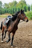 Horse  on the racetrack . Royalty Free Stock Images