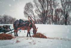 Horse in harness. In Russia winter Royalty Free Stock Photo