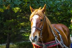 A horse in a harness stands in a deciduous forest. In summer Stock Image