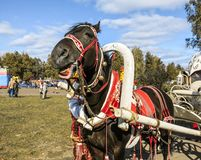 The horse in harness stands on the square. At the festival Stock Photos