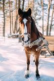 A horse in a harness in the sunlight on the snow. In the woods Royalty Free Stock Image