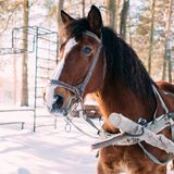 A horse in a harness in the sunlight on the snow. In the woods Royalty Free Stock Photos