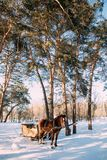 A horse in a harness in the sunlight on the snow. In the woods Stock Photo