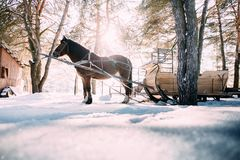 A horse in a harness in the sunlight on the snow. In the woods Royalty Free Stock Photography