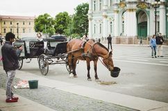 A horse harnessed to a carriage eats oats in the city of St. Petersburg. Entertainment royalty free stock photography