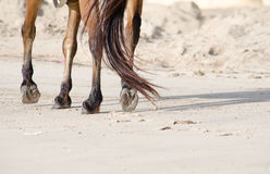 A horse has walking on the splash sand. A horse has walking on the splash sand in the morning Royalty Free Stock Image