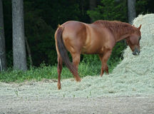 Horse Having Dinner. Horse having hay as a dinner Royalty Free Stock Photo