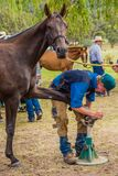 Murrurundi, NSW, Australia, February 24, 2018: Competitors in the King of the Ranges Horse Shoeing Competition. Horse having its nails polished during the King stock photography