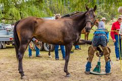 Murrurundi, NSW, Australia, February 24, 2018: Competitors in the King of the Ranges Horse Shoeing Competition. Horse having its nails polished during the King stock image