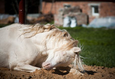 Horse having rest Royalty Free Stock Photo