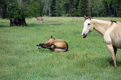 A horse having a roll in a grassy meadow Royalty Free Stock Photo