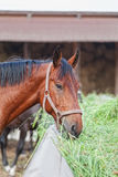 Horse is hay Stock Image