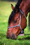 Horse head. Brown domestic horse eating grass Royalty Free Stock Images