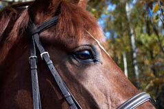 Horse head. Close up shot of a horse head Royalty Free Stock Images