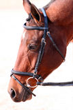 Horse head. Close up of horse head in english bridle Royalty Free Stock Photos