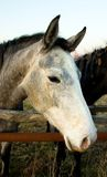 Horse head. Close up of grey horse head in the nature Stock Images