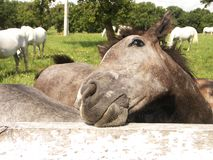 Horse head #2. Horse head, Lipice Farm, Slovenia Royalty Free Stock Image