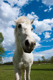 Horse head. Big head of horse, made by wide angle lens Royalty Free Stock Photos