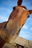 Horse head Stock Photography