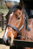 A horse head Royalty Free Stock Photos