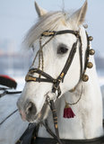 Horse head. Playful look beautiful white horse Stock Photo