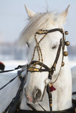 Horse head. Playful look beautiful white horse Stock Images