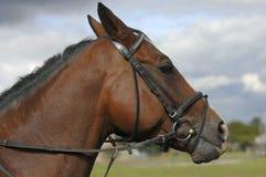 Horse head Royalty Free Stock Photos