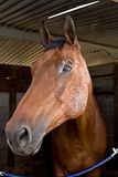 Horse Head. A face to face encounter with a horse named Guinness Royalty Free Stock Photo