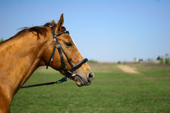 Horse head. On summer nature background Royalty Free Stock Photography