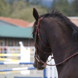 Horse head. Beautiful stallion at local equestrian park Stock Photo