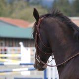 Horse head. Beautiful stallion at local equestrian park stock photo